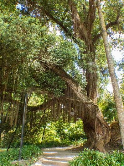 Sao-Miguel-Terra-Nostra-Park-Baum-aus-Neuseeland