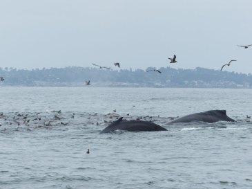Whale Watching Monterrey großes Fressen