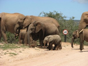 Speed limit for elephants in Addo-Elephant park