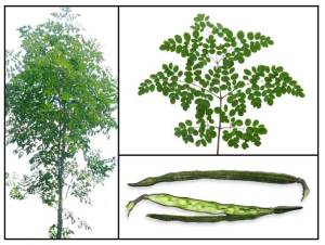 Moringa leaves and pods are eaten straight from the tree.