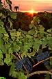 Ресвератрол красного винограда