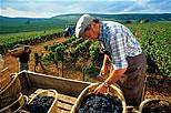 Красный виноград и французский парадокс