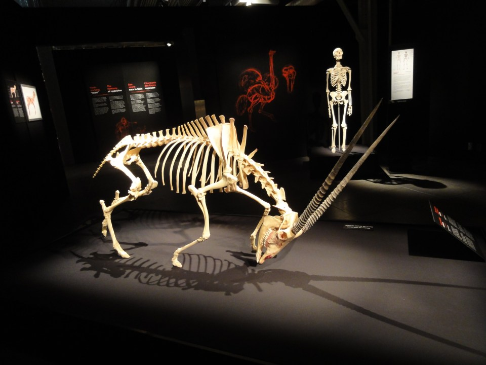 Animals_Inside_Out_Centre_Des_Sciences_Antelope_Skeleton
