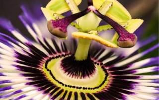 La passiflore, une plante adaptogène contre le stress