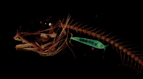 CT image of a fish showing it's skeleton. A smaller creature (green) is shown within its stomach cavity