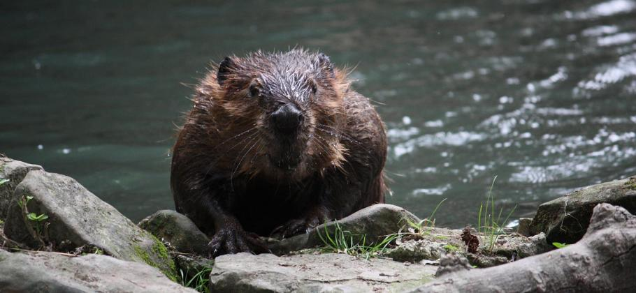 Photograph of a beaver at the edge of water near some rocks and wood