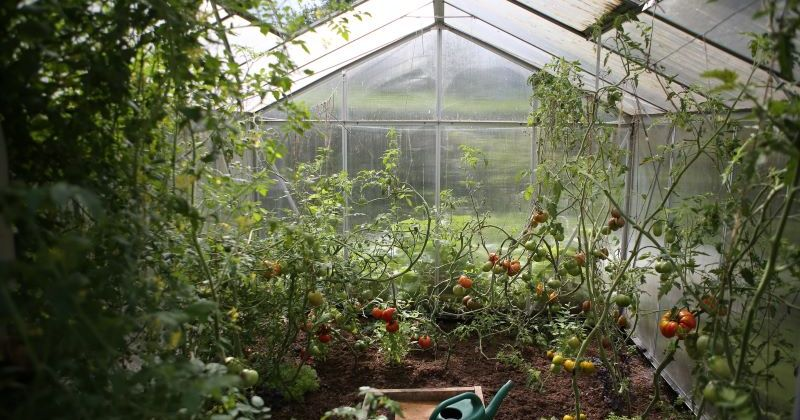 Greenhouse with tomatoes growing