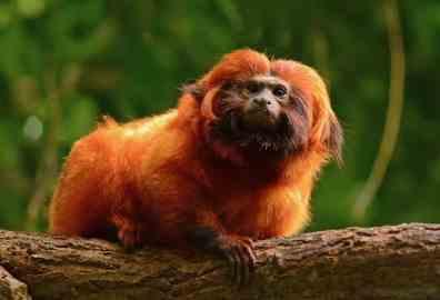 tecnología para salvar primates en vía de extinción