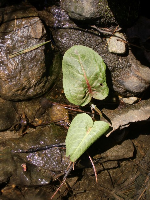 Unknown plant at the creek.