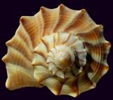 SeaShell33