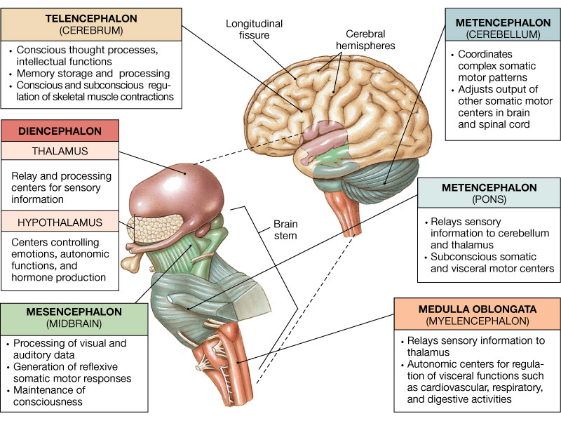 brain stem A stroke occurs when blood supply to the brain is interrupted we depend on brain stem function for survival learn more about symptoms and treatments.