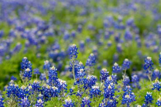 field of texas bluebonnet