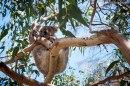 koala-Australia-impresiones-del-mundo