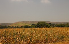Maisfeld │ maize field