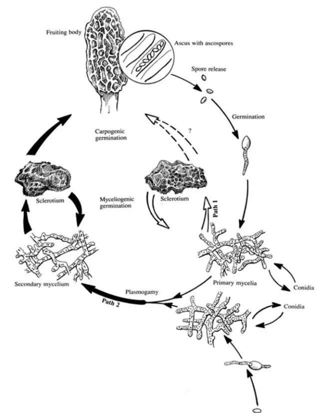 Figure 4: Morchella life cycle