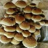 Figure 1: Chestnut mushroom (Pholiota adiposa)