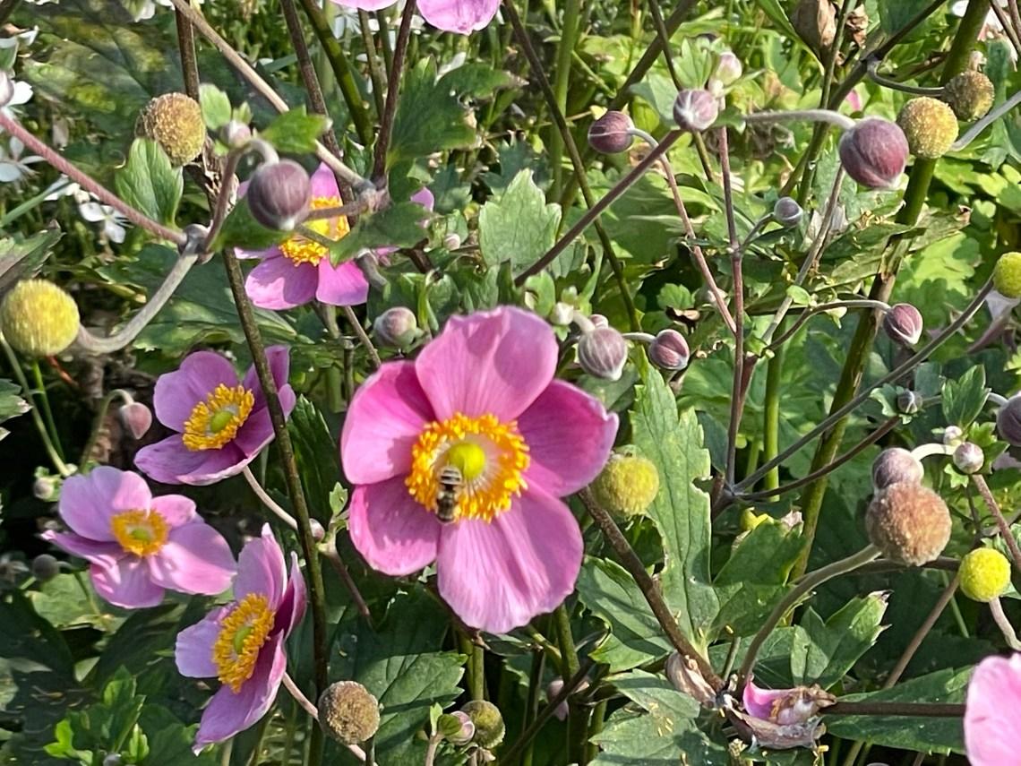 Hbstanemone mit Besucher zum Herbstanfang im Hortus naturalis color