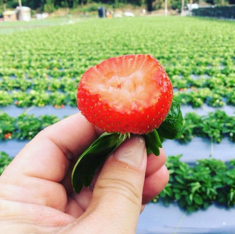 【 2019草莓季 】哪家大湖草莓最大最甜?2019苗栗大湖草莓園推薦+交通攻略