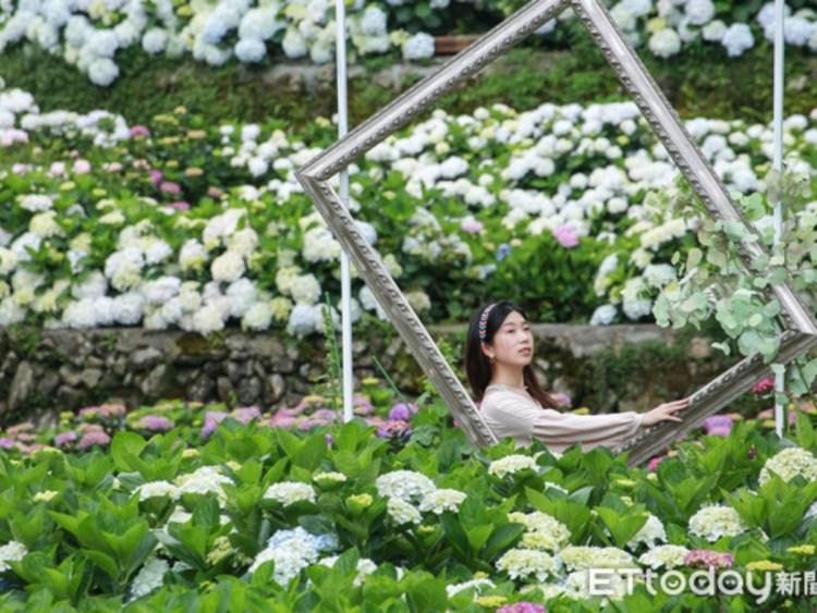 不用飛日本!陽明山繡球花季 最新編織愛心、花蛋糕拍好拍滿