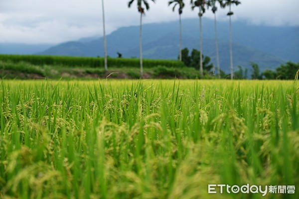 ▲以米為主食的台灣,尤以台東池上米最富盛名。(圖/記者彭懷玉攝,以下皆同)