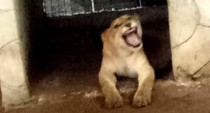 Lion found living in a house in Lagos (photos)
