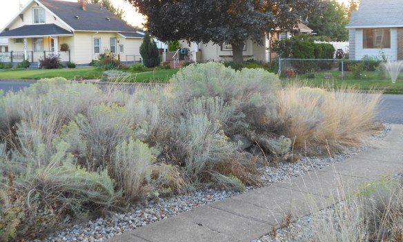 The native plants in my front yard have really grown and multiplied. Good to look at. Not good for running.