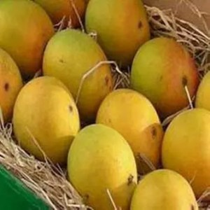 Aam Sutra – On the trail of the Indian Mango