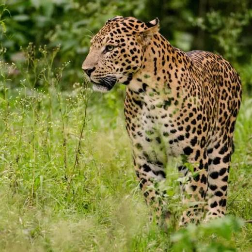 Leopard  Nagarhole