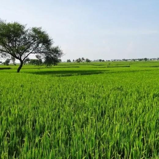 Rice fields Karnataka