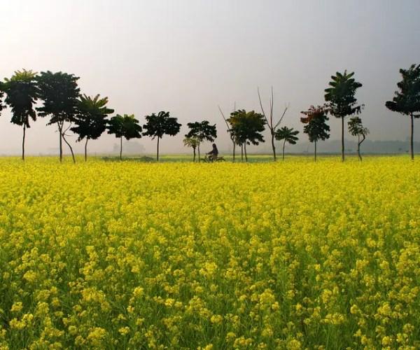 Punjab Mustard