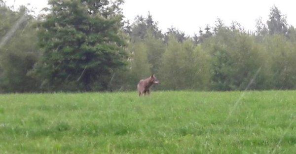 Der Wolf in Gummersbach. Foto: Claudia Camp