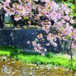 夙川公園の桜の花見