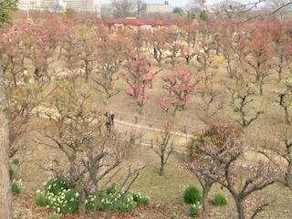 橋の上からの梅の写真