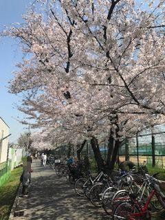 柴島浄水場桜並木