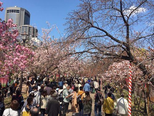 造幣局桜の通り抜けの混み具合