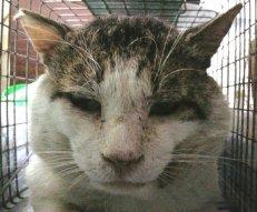 今年一番顔が大きかったオス猫(^_^.)耳カット済みです♪
