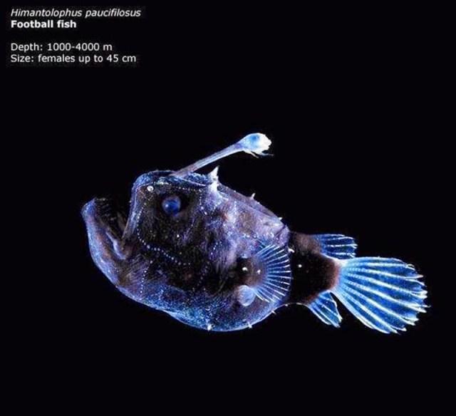 footballfish-ps