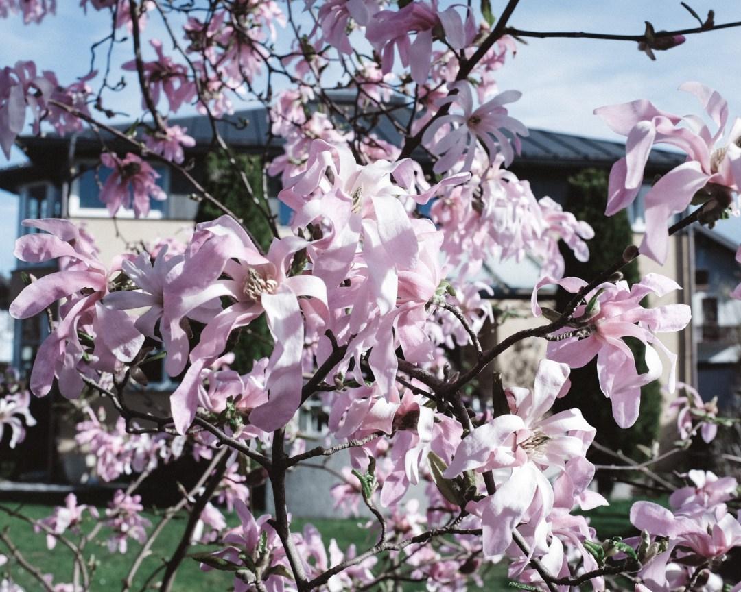 inastil, Frühlingsgarten, Teich, Magnolien, Frühlingsblüher, Lachs, Spargelrezept, Mangosalsa, Lowcarb, leichtes Abendessen, Ü50Blogger-6