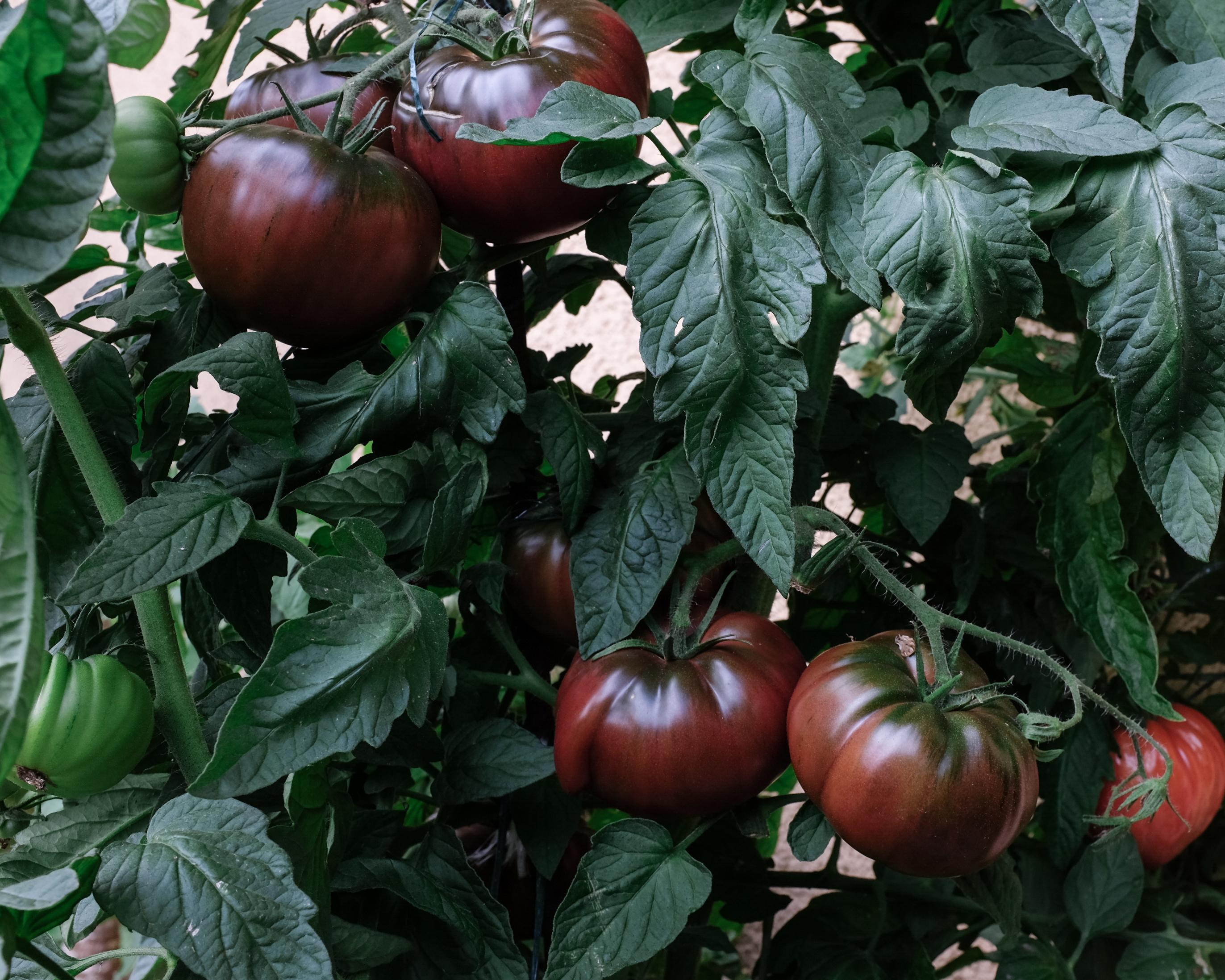 Sommerküche Tomaten : Sommerküche nektarinenkuchen tomaten und feigen aus dem garten