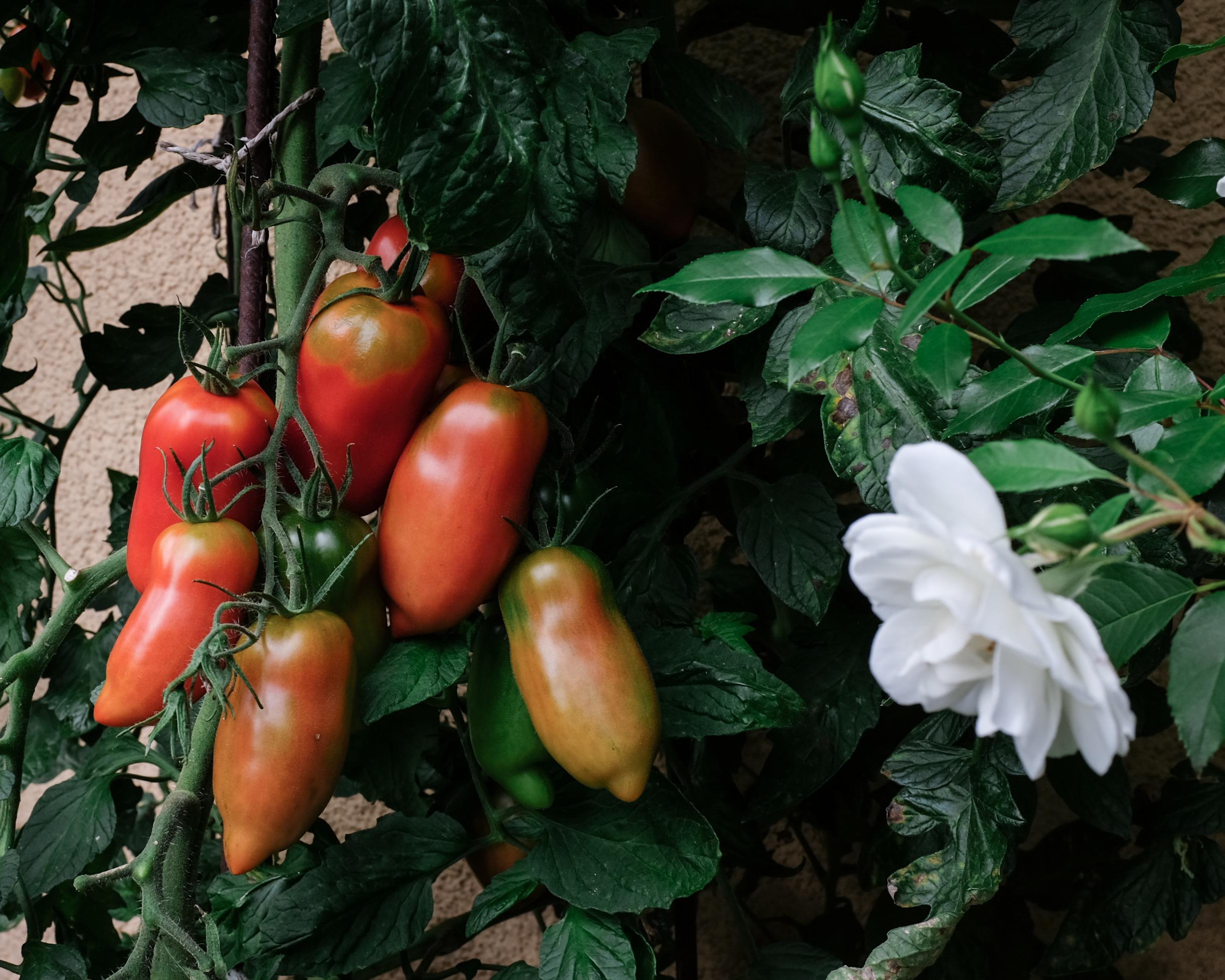 Sommerküche Tomaten : Sommerküche u nektarinenkuchen tomaten und feigen aus dem garten