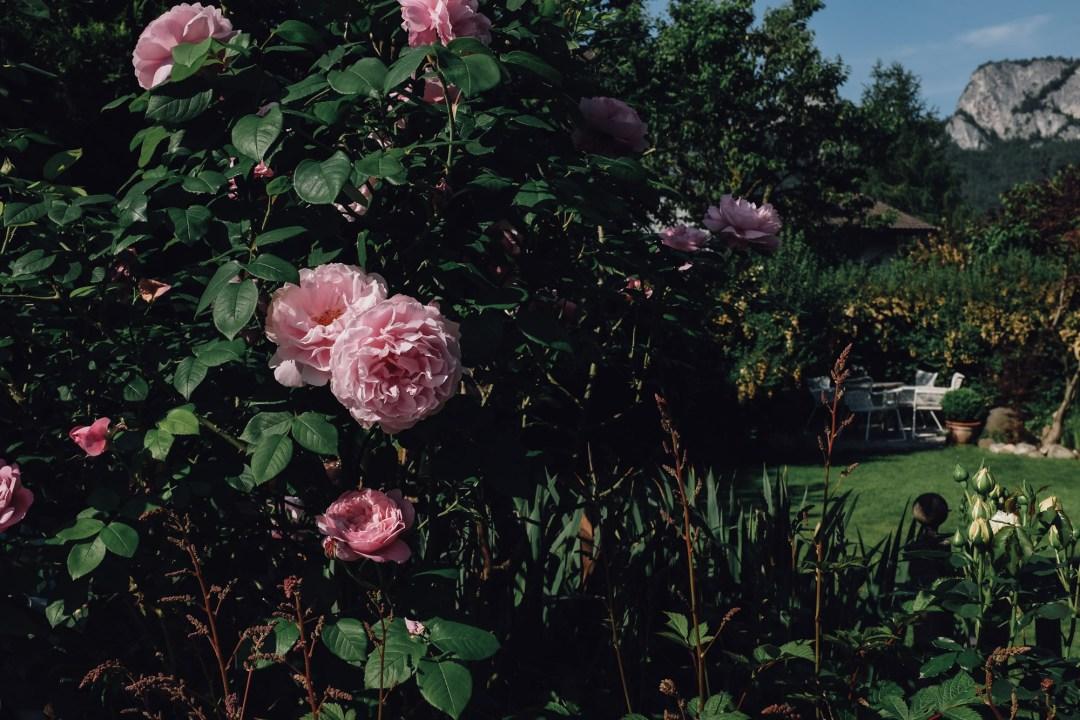 inastil, over50blogger, rosen, historische rosen, garten, sommergarten, rosengarten, gartenliebe, holler, holunder, holundersirsup, hugo, sommerabend, rosenliebe, haus und garten, rosenstrauß-5