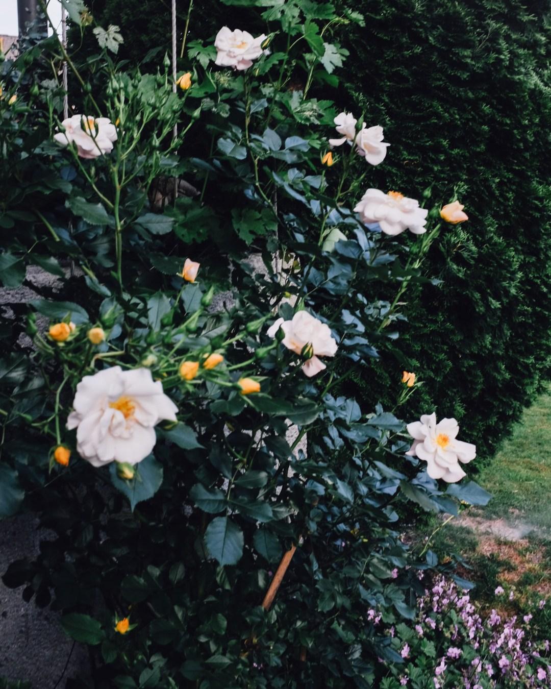 inastil, over50blogger, rosen, historische rosen, garten, sommergarten, rosengarten, gartenliebe, holler, holunder, holundersirsup, hugo, sommerabend, rosenliebe, haus und garten, rosenstrauß-6