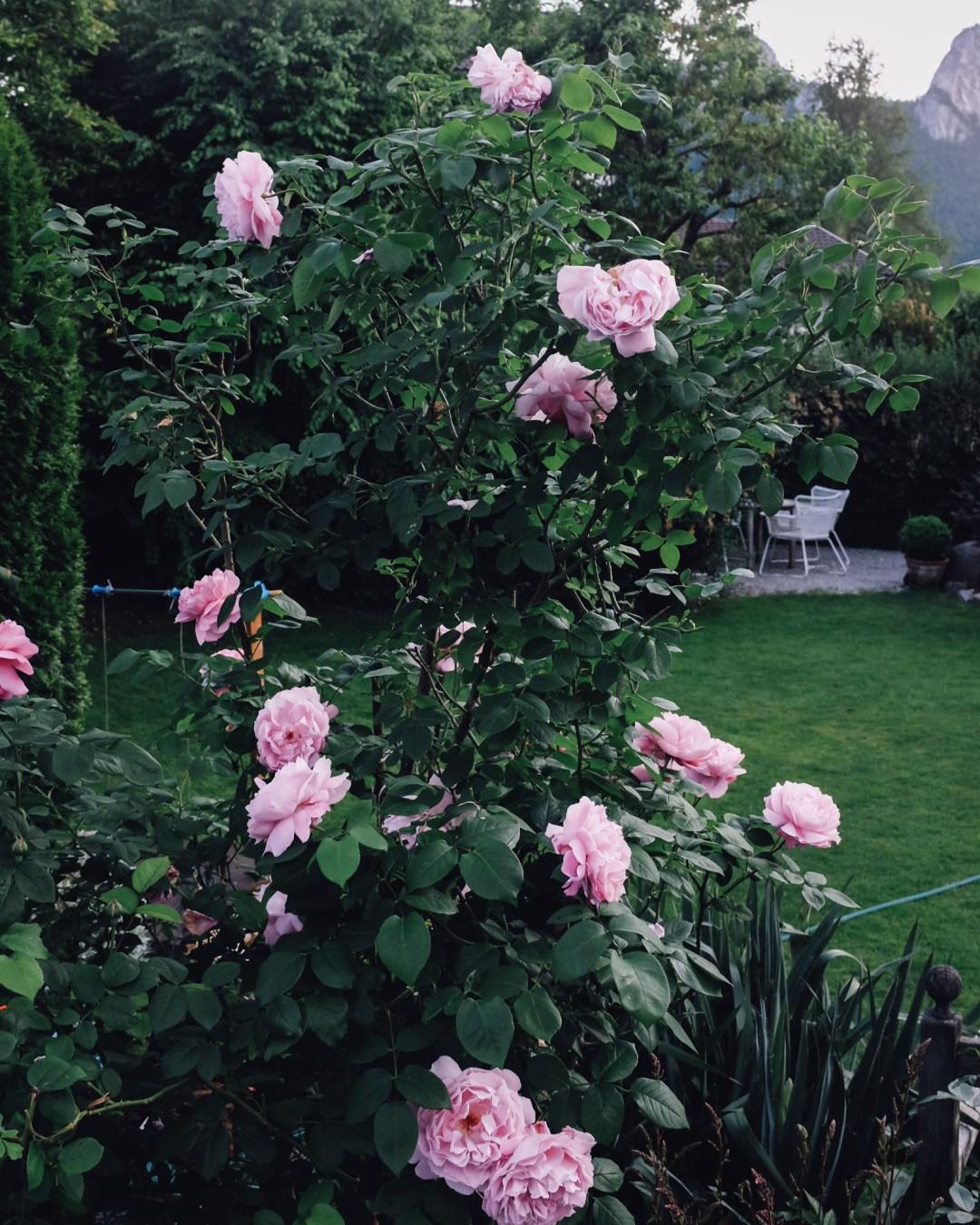 inastil, over50blogger, rosen, historische rosen, garten, sommergarten, rosengarten, gartenliebe, holler, holunder, holundersirsup, hugo, sommerabend, rosenliebe, haus und garten, rosenstrauß-7