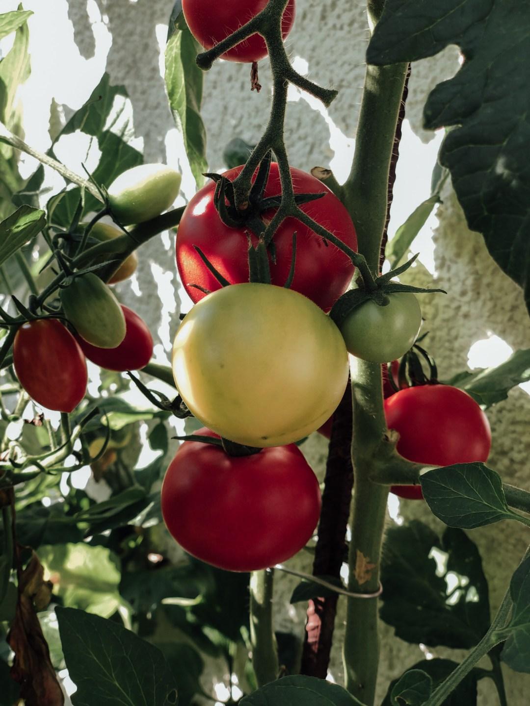 inastil, Tomaten, Tomatoes, Tomatensalat, Vorspeise, Antipasti, Tomatenernte, Sumach-6