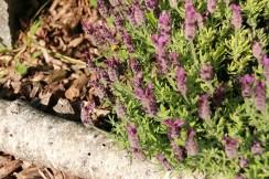 Lavendel beginnt zu blühen und erfreut die Hummeln