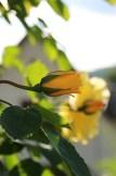 Auch die gelbe Kletterrose blüht wie wild