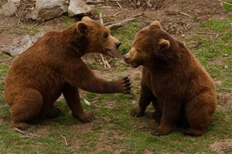 Playful brown bears at Kuterevo Bear Rescue