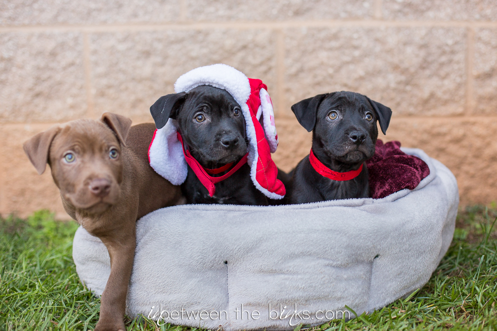 Puppies Pitties And Kitties Celebrate Christmas At The