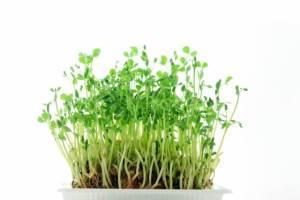 豆苗再生栽培