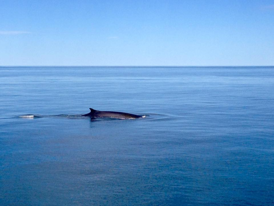 fin of minky whale just above water